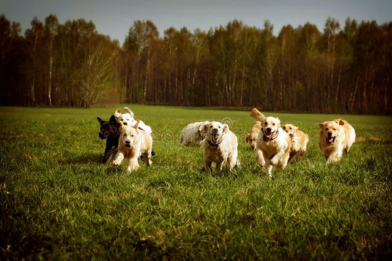 Stor grupp av att köra för guld- apportörer för hundkapplöpning royaltyfri foto