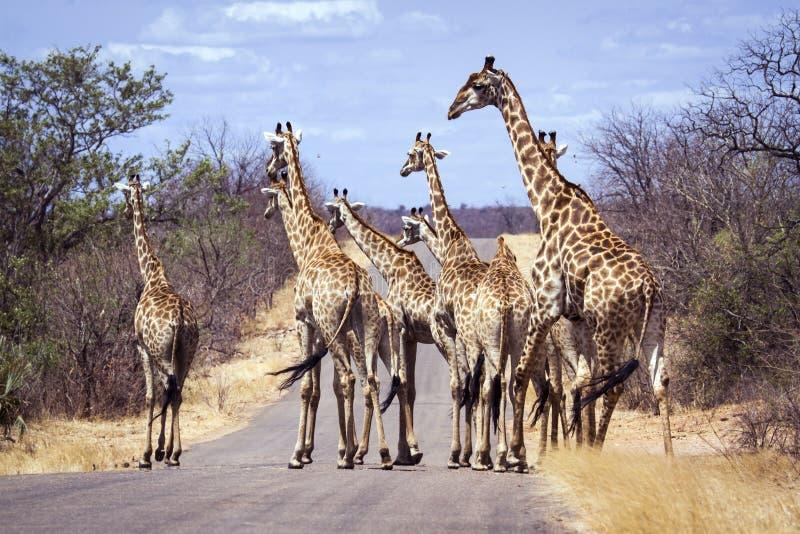 Stor grupp av giraff i den Kruger nationalparken, Sydafrika fotografering för bildbyråer