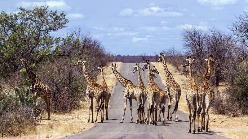 Stor grupp av giraff i den Kruger nationalparken, Sydafrika arkivfoton