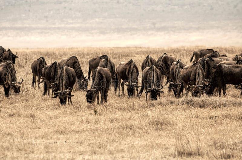 Stor grupp av gnu i den Ngorongoro krater, Tanzania, Afrika royaltyfri bild