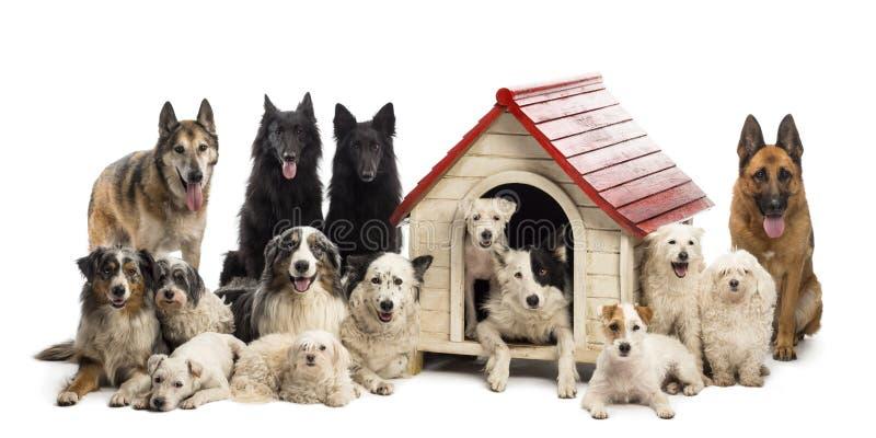 Stor grupp av hundar in och omge en hundkoja fotografering för bildbyråer