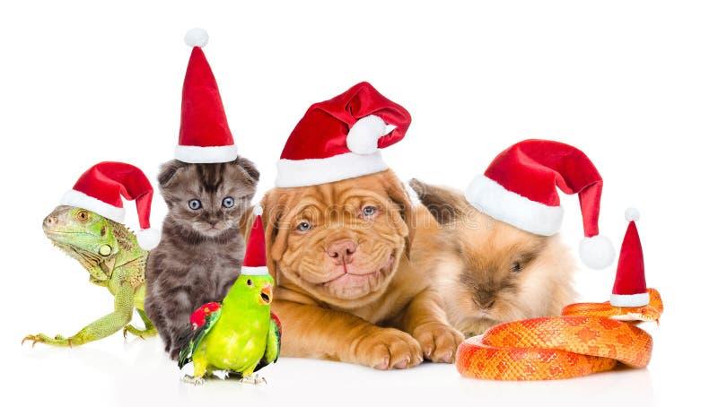 Stor grupp av husdjur i röda jultomtenhattar Isolerat på den vita backgroen royaltyfri fotografi