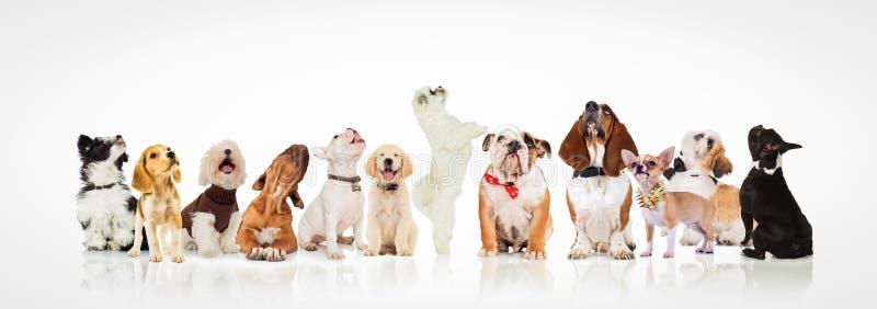 Stor grupp av nyfiken hundkapplöpning och valpar som ser upp royaltyfri foto