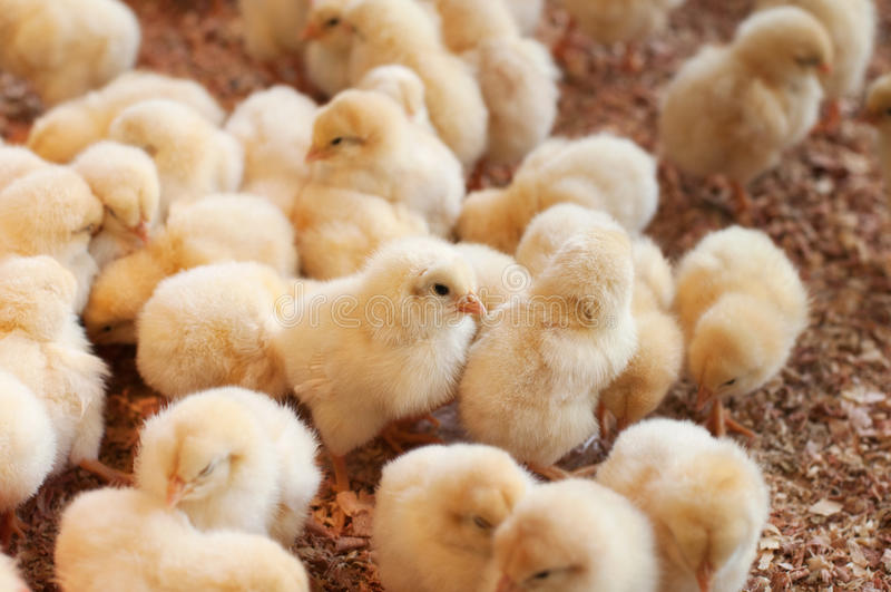 Stor grupp av nyligen kläckte fågelungar arkivfoto