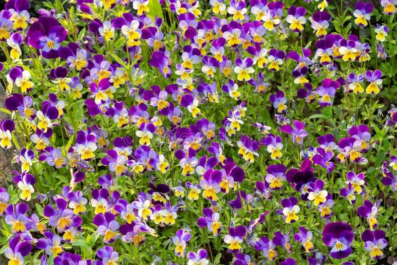 Stor grupp av perenn guling-violett altfiolcornuta som är bekanta som horned pensé eller horned violett royaltyfri bild