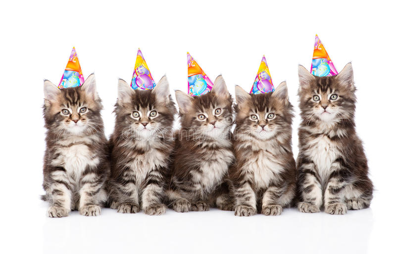 Stor grupp av små maine tvättbjörnkatter med födelsedaghattar isolerat royaltyfria foton