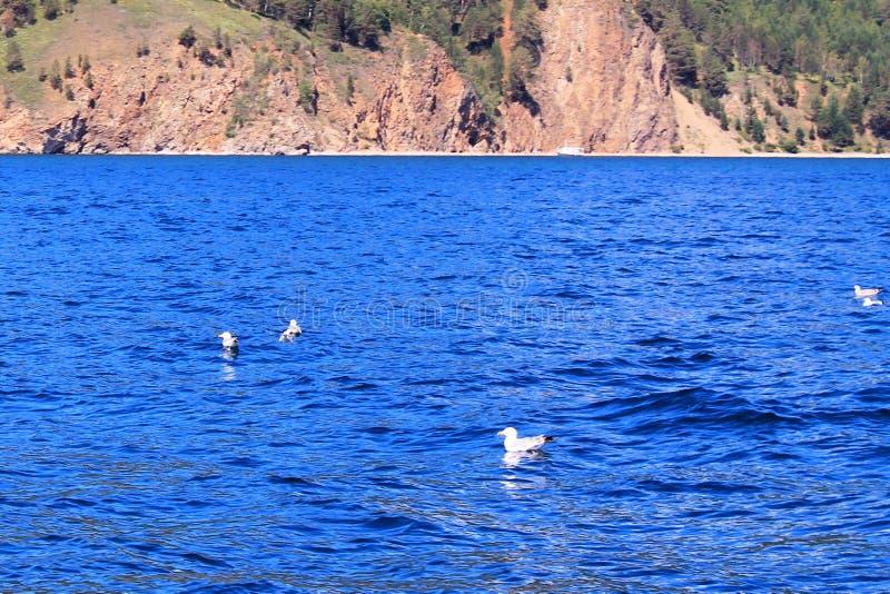 Stor gruppflock av seagulls på havssjövatten och flyg i himmel på sommarsolnedgång som tonas med den retro hipsteren för instagra arkivbilder