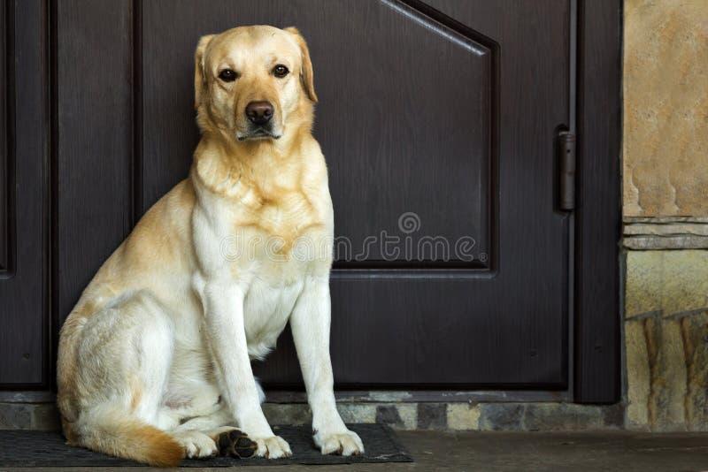 Stor gul hund som sitter nära husdörr royaltyfria bilder