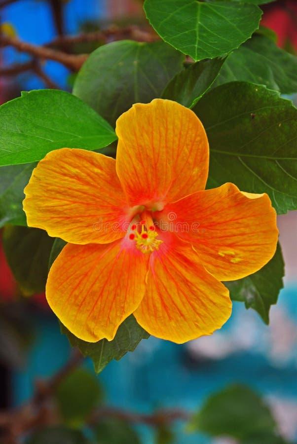 Stor gul orange hibiskus arkivfoton