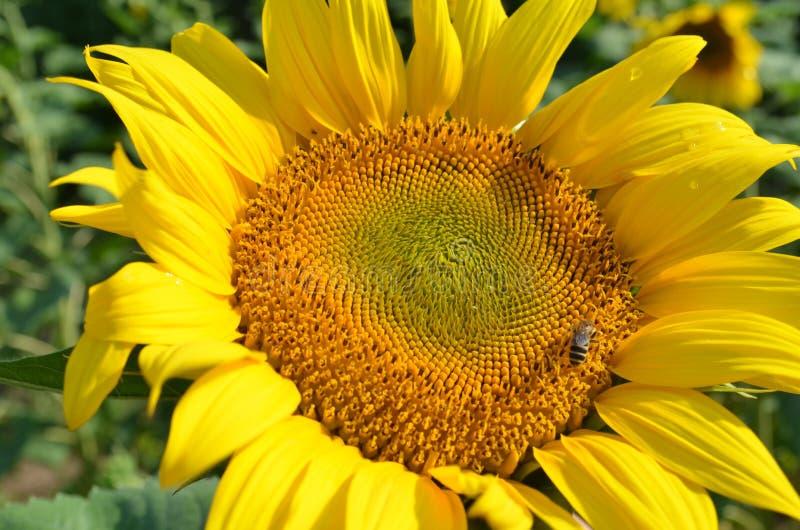 Stor gul solros med ett litet bi royaltyfria bilder