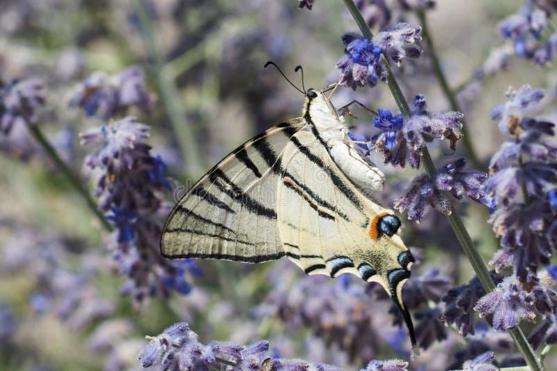 Stor gul, svart, blå och orange fjäril som matar från purpurfärgade blommor royaltyfri foto