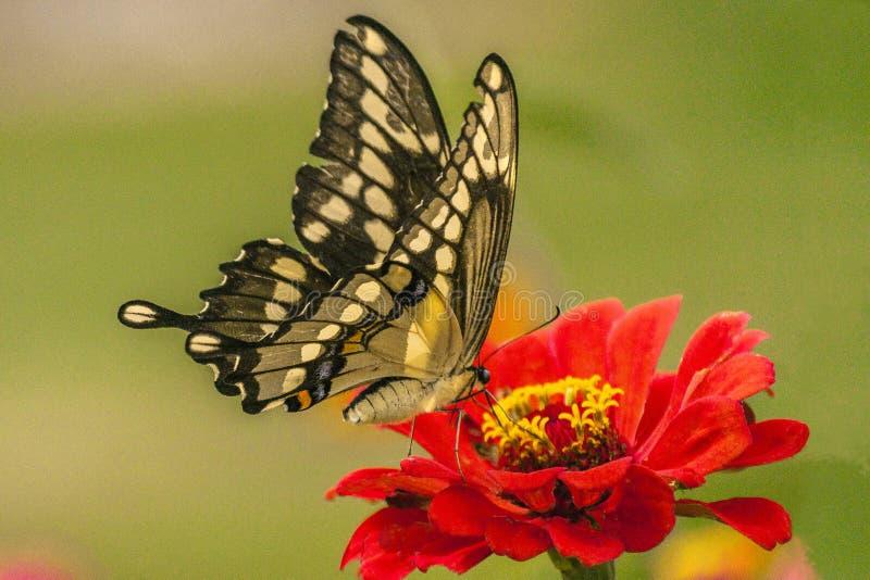Stor gul Swallowtail fjäril fotografering för bildbyråer