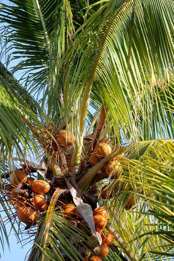 Stor guld- kokosnötpalmträd med kokosnötter på solnedgången i de Florida tangenterna arkivfoto