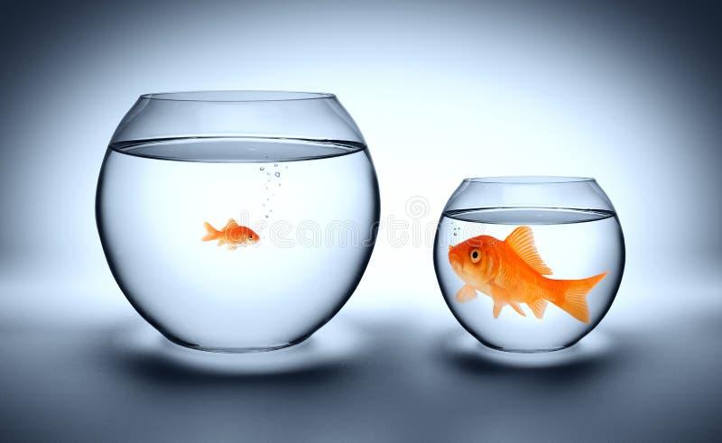 Stor guldfisk i ett litet akvarium arkivbild