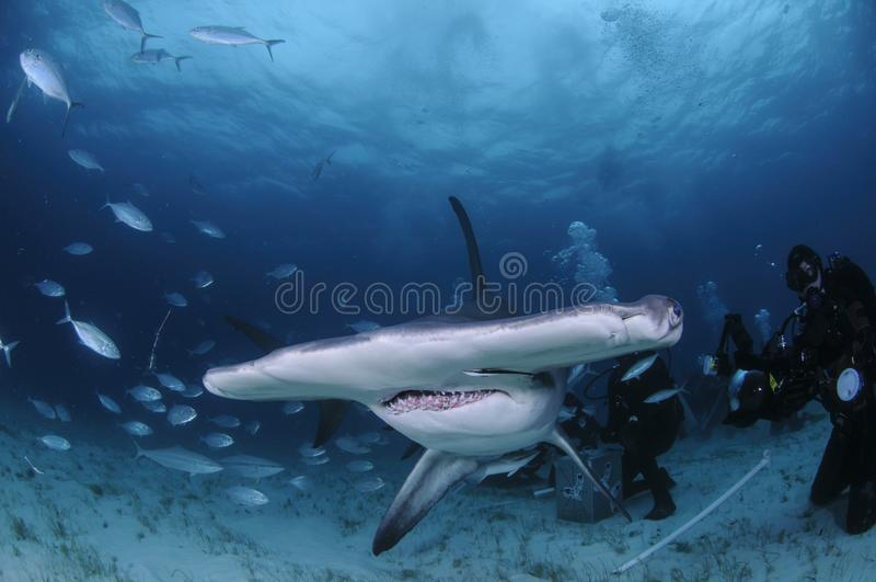 Stor Hammerheadsimning bland dykare i Bahamas royaltyfri bild