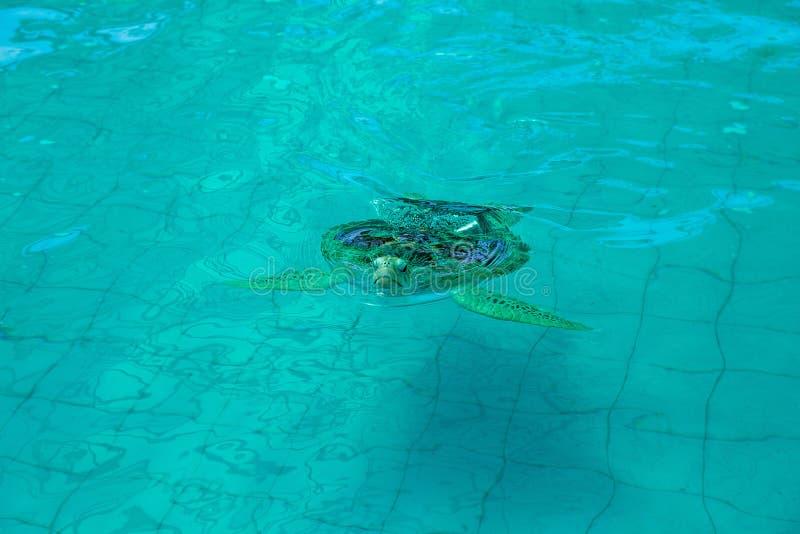 Stor Hawksbill sköldpadda i dammet, selektiv fokus royaltyfria bilder
