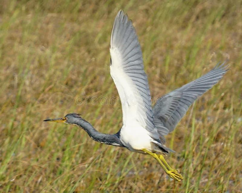stor heron för blått flyg arkivfoto