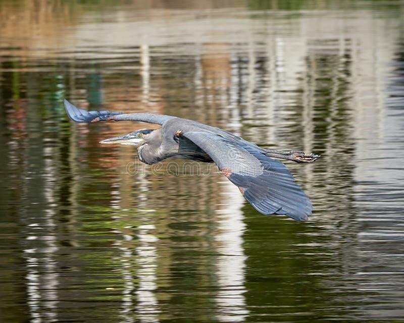 stor heron f?r bl?tt flyg royaltyfri bild