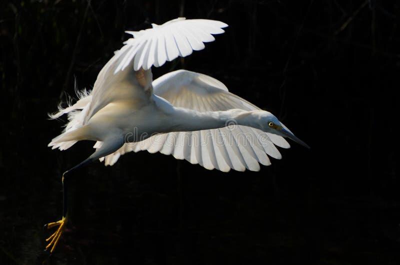 stor heronwhite royaltyfria foton