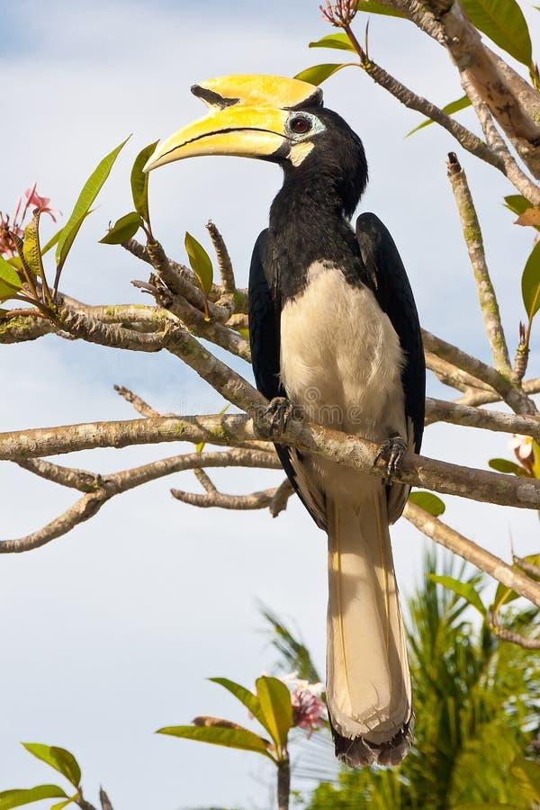 stor hornbill för fågel arkivfoto