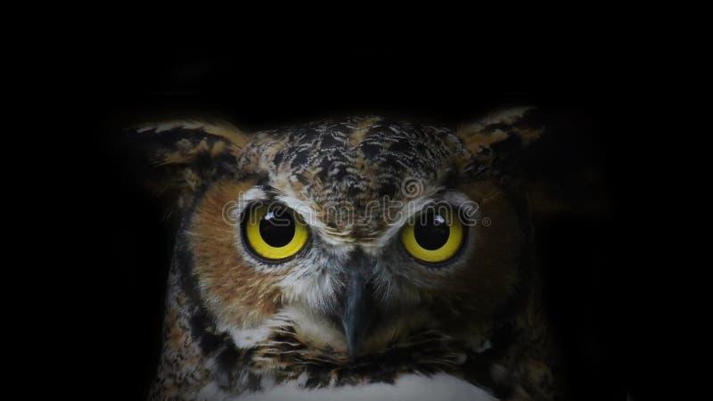 Download Stor horned owl arkivfoto. Bild av fjädrar, fluga, brigham - 106831898