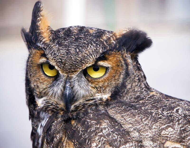 stor horned owl fotografering för bildbyråer