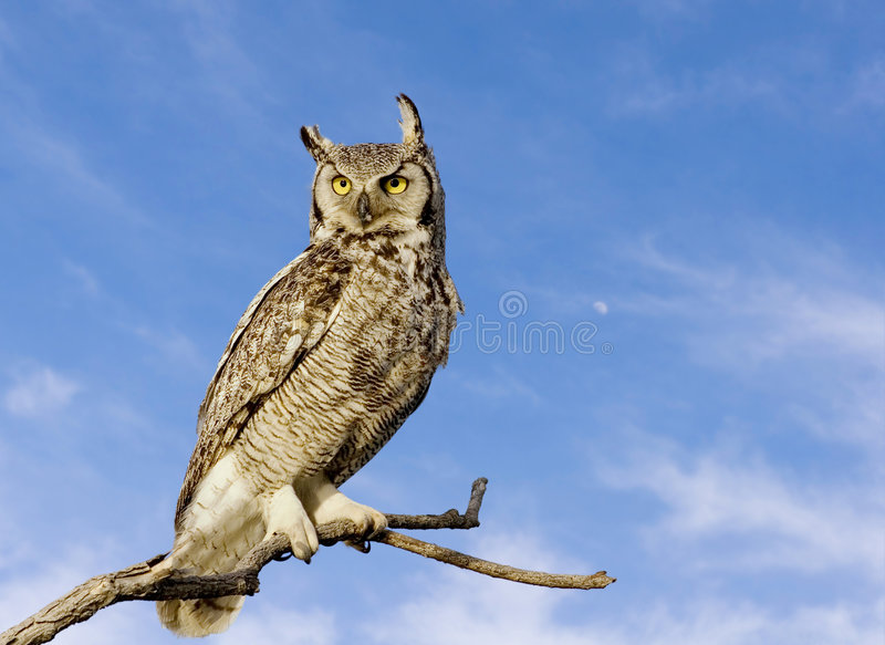 stor horned owl royaltyfria foton