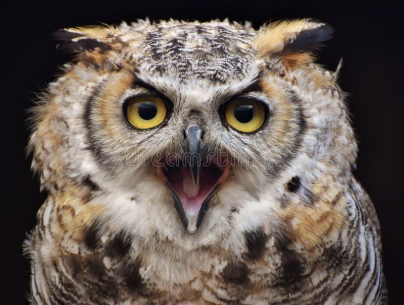 Stor Horned Owl Bubo virginianus arkivfoto