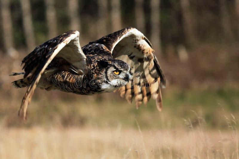stor horned owl för flyg arkivbild