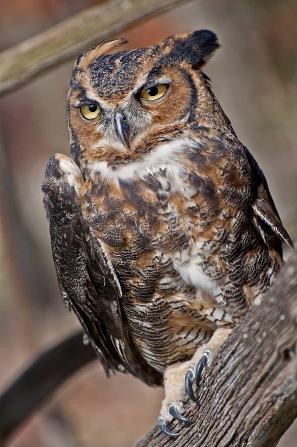 stor horned owl två arkivfoto
