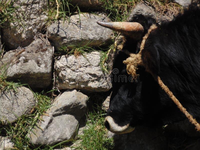 Stor horned tjur i profil som binds med ett rep royaltyfria foton