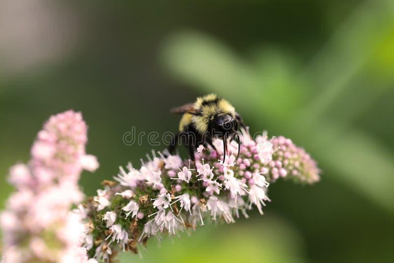 Stor humla på blomningmintkaramellen arkivfoto