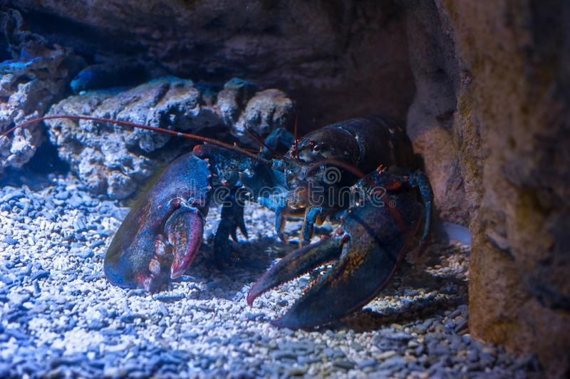 Stor hummer under vatten royaltyfri fotografi