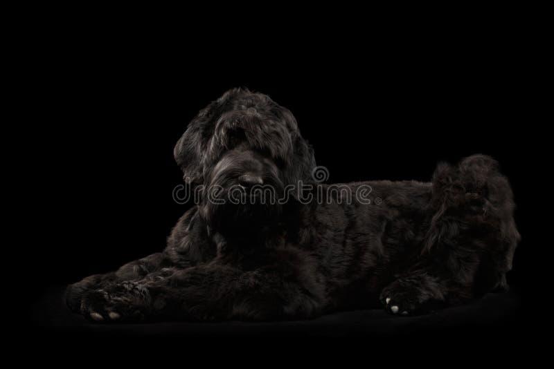 Stor hund för rysssvartterrier som ligger på isolerad bakgrund royaltyfria foton