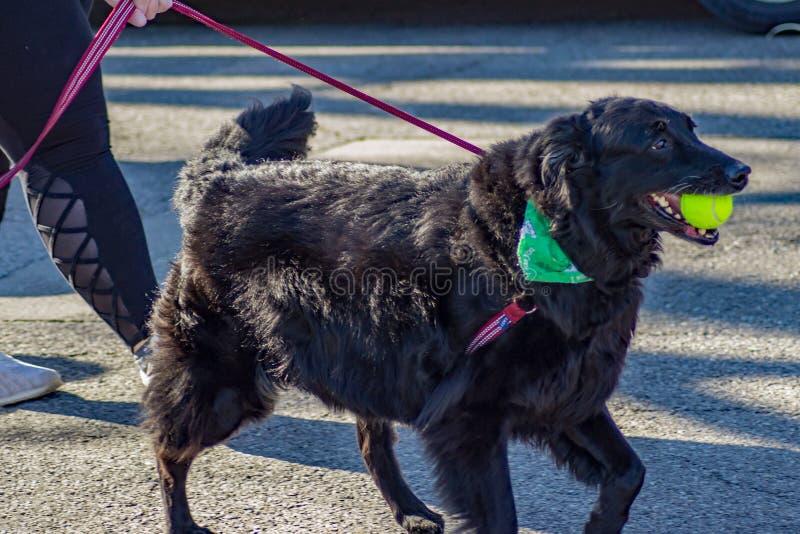 Stor hund på den årliga eftersläckaren för svans för Roanoke dal SPCA 5K arkivfoton