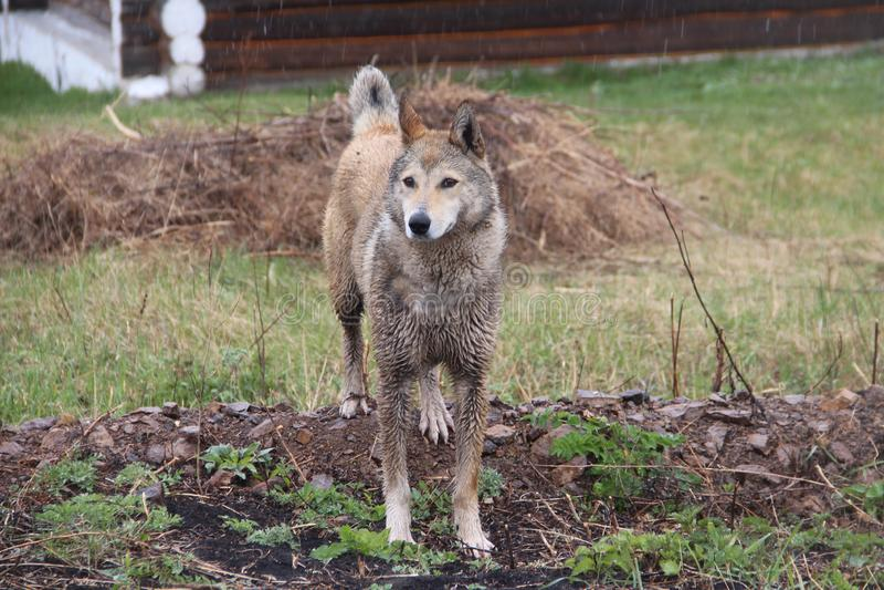 Stor hund som går i regnet arkivfoton