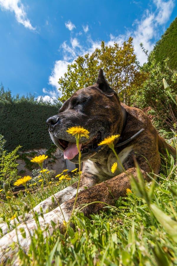 Stor hund som lägger på gräset royaltyfria foton