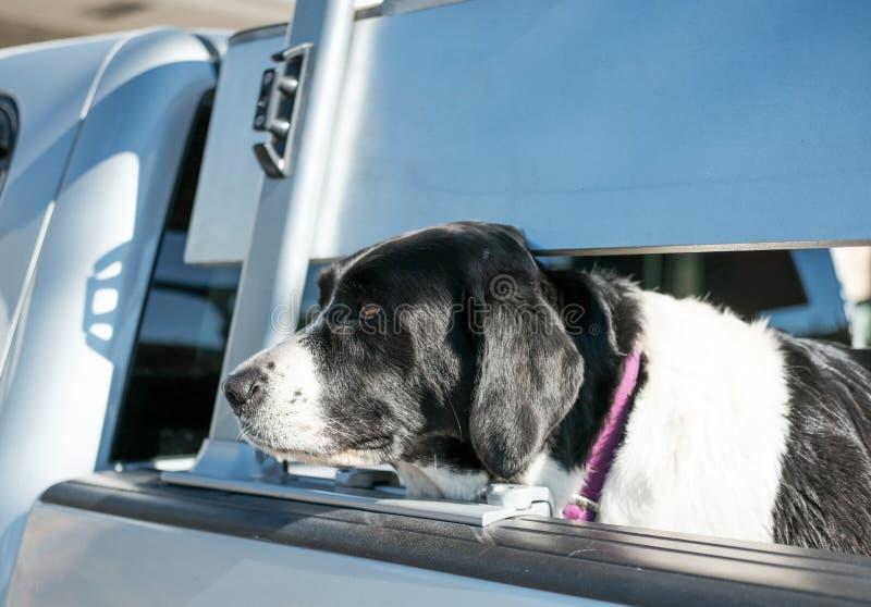 Stor hund som ses i baksidan av en lastbil som väntar på dess ägare royaltyfri fotografi