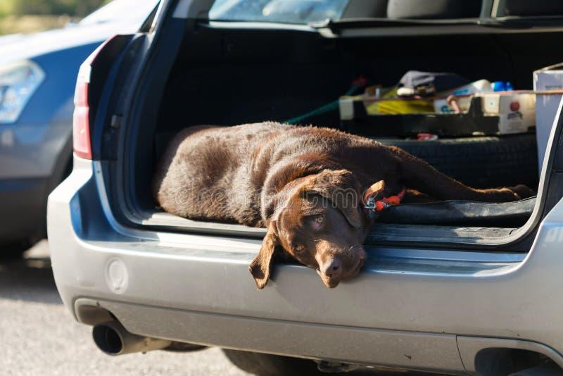 Stor hund som sover i stammen av bilen royaltyfria foton
