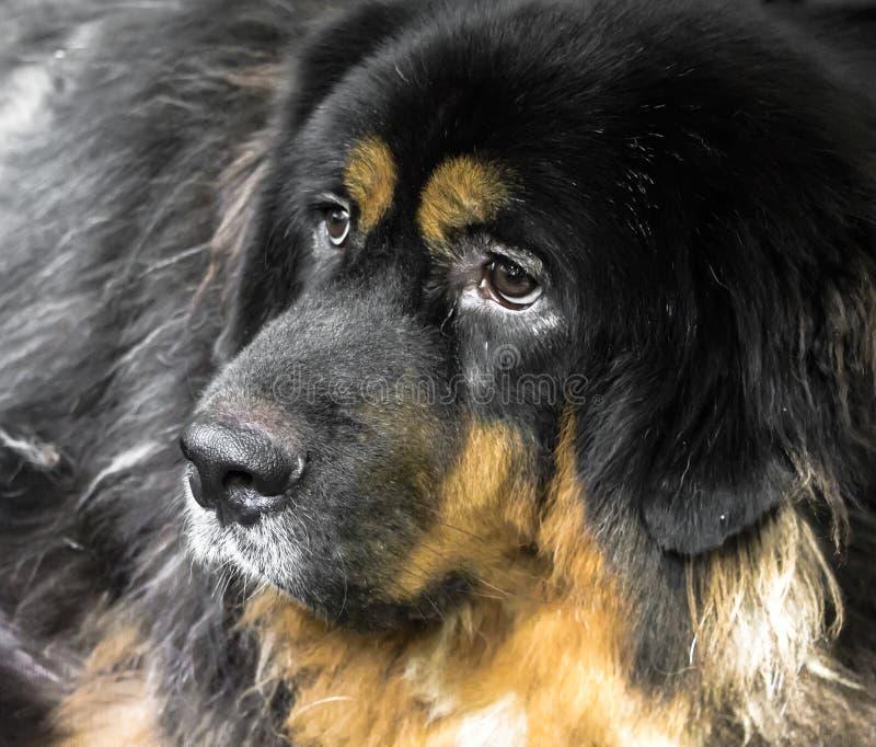 Stor hund, tibetan mastiff arkivbilder
