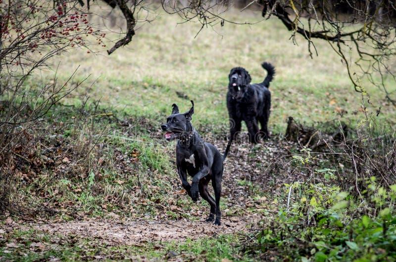 Stor hundkapplöpning utomhus arkivfoto