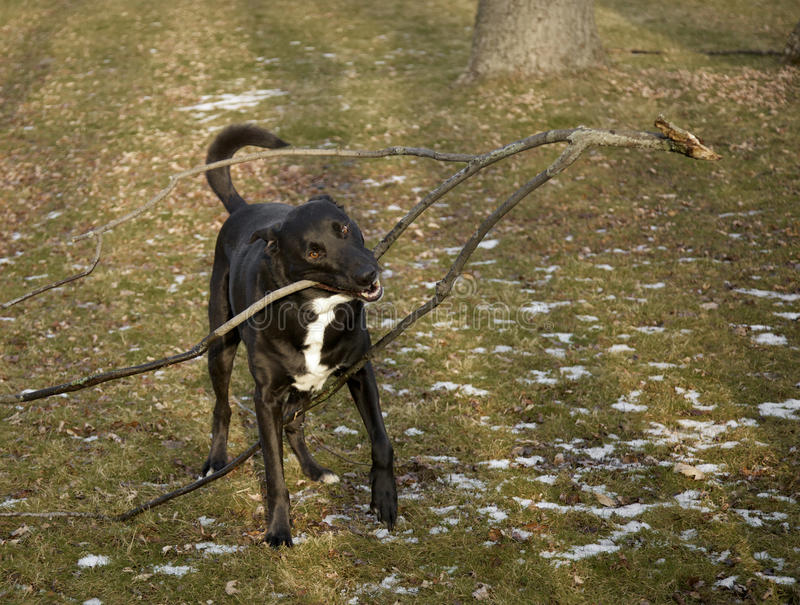 stor hundstick royaltyfri foto