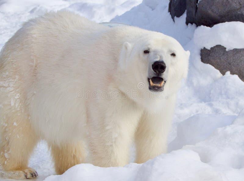 Stor isbjörn i den Asahiyama zoo, Hokkaido, Japan, under vintertid arkivbild