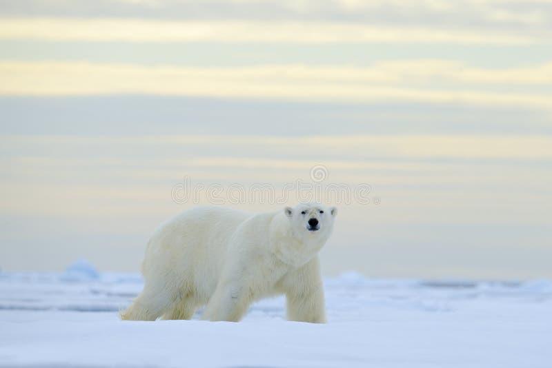 Stor isbjörn på drivais med snö, suddig trevlig guling och blå himmel i bakgrund, Svalbard, Norge royaltyfri bild