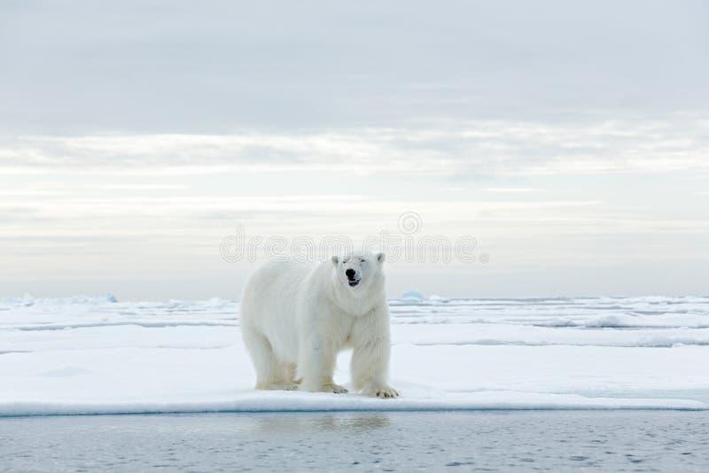Stor isbjörn på kanten för drivais med snö ett vatten i arktiska Svalbard royaltyfri foto