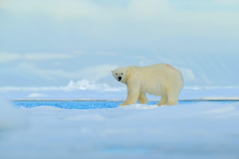Stor isbjörn på kanten för drivais med snö ett vatten i arktiska Svalbard, stort vitt djur i naturlivsmiljön, dimmigt berg in royaltyfri fotografi