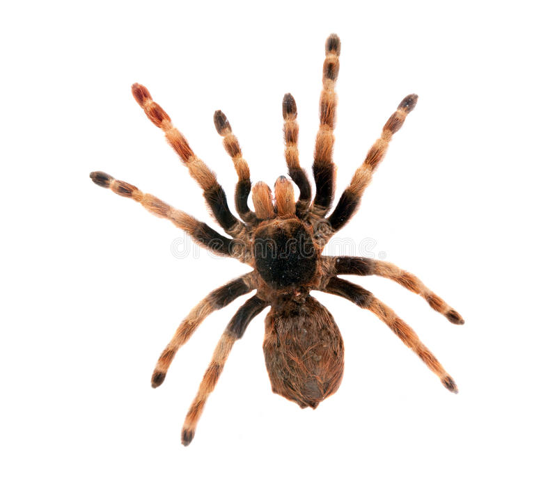 stor isolerad spindel royaltyfria bilder