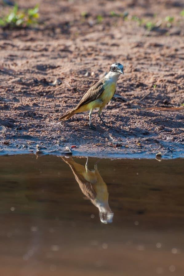 Stor Kiskadee fågel i lakefront fotografering för bildbyråer