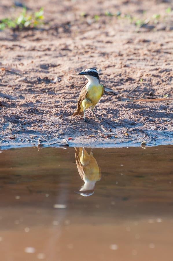 Stor Kiskadee fågel i lakefront royaltyfria bilder