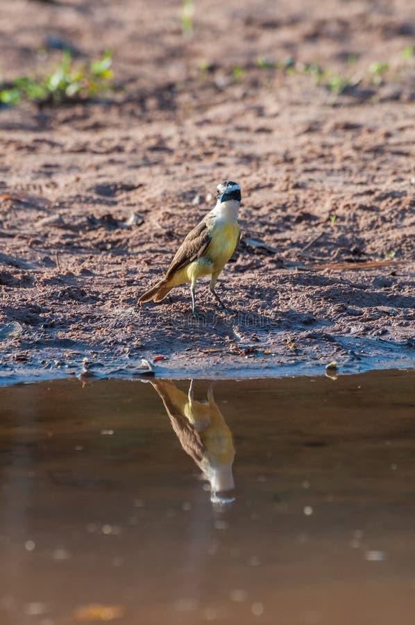 Stor Kiskadee fågel i lakefront arkivfoton